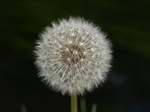 Mlkebtte (Taraxacum sp.)